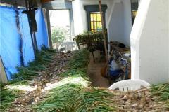 bibo-sunroom-garlic